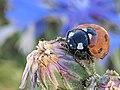 Ladybug on Sibillini Mountains 07.jpg