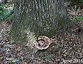 Laetiporus persicinus 9133404.jpg
