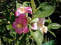 Lagunaria patersonia 2c.JPG