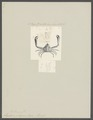Lambrus pelagicus - - Print - Iconographia Zoologica - Special Collections University of Amsterdam - UBAINV0274 095 04 0006.tif