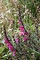 Lamourouxia virgata (Orobanchaceae) (45315905084).jpg