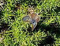 Lang's short tailed blue. Leptotes pirithous.Female - Flickr - gailhampshire.jpg