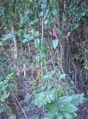 Lapageria rosea, Gevuina avellana.JPG