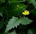 Lapsana communis flower and leaf.jpg