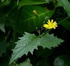 Lapsana communis flower and leaf.jpg