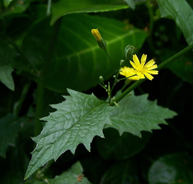 Tiedosto:Lapsana communis flower and leaf.jpg