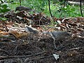Large Grey Babblers Foraging 01.jpg