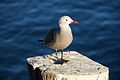 Larus heermanni on Seal Beach pier 1.jpg