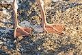 Larus smithsonianus feet2.jpg