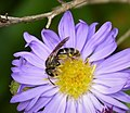 Lasioglossum species (37794670061).jpg