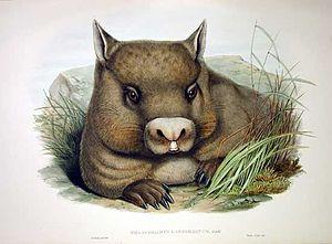 Lasiorhinus latifrons - hairy-nosed wombat