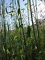 Lathyrus aphaca sl50.jpg