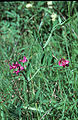 Lathyrus palustris1LEST.jpg