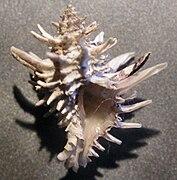 Latiaxis wormaldi 002