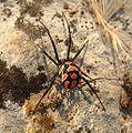 Latrodectus tredecimguttatus female.jpg
