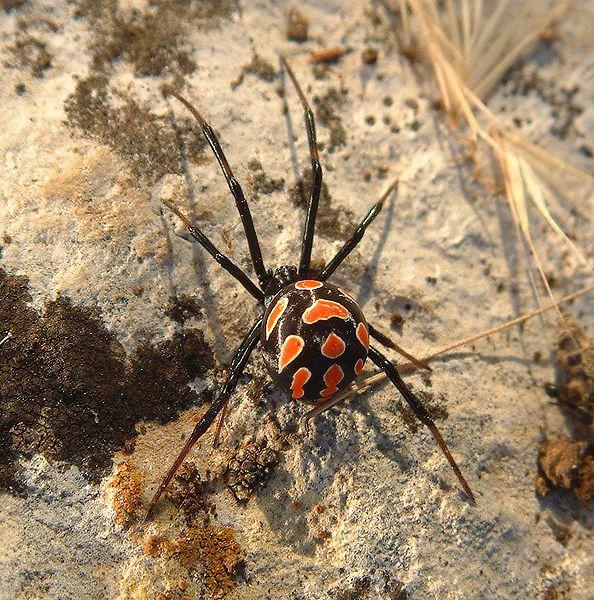 Imagen:Latrodectus tredecimguttatus female.jpg