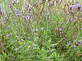 Lavandula canariensis subsp. canariae.jpg