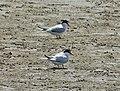 Least Terns Sterna antillarum (38232893602).jpg