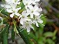 Ledum groenlandicum 4-eheep (5098085486).jpg