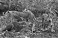 Leeuwen los in Burgers Dierenpark te Arnhem, Bestanddeelnr 921-3409.jpg
