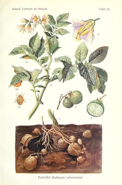 Lehrbuch der Botanik (Taf. 26) (8071712271)