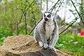 Lemur (36697549385).jpg