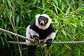 Lemur (36710227931).jpg