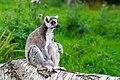 Lemur (37140338942).jpg
