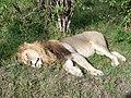 Leo. Maasai Mara National Park - panoramio.jpg
