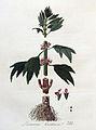 Leonurus cardiaca — Flora Batava — Volume v4.jpg