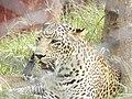Leopard11.jpg
