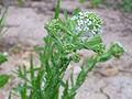 Lepidium heterophyllum Enfoque 2013-4-25 SierraMadrona.jpg