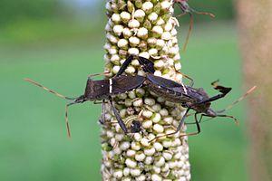 Leptoglossus phyllopus - Leptoglossus phyllopus on Pennisetum glaucum