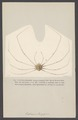 Leptopus longipes - - Print - Iconographia Zoologica - Special Collections University of Amsterdam - UBAINV0274 006 01 0067.tif