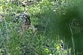 Lepus europaeus 03(js) Lodz (Poland).jpeg