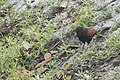 Lesser Coucal Searching Food.jpg