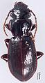 Lesticus finisterrae holotype - ZooKeys-246-027-g003.jpeg