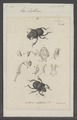 Lethrus - Print - Iconographia Zoologica - Special Collections University of Amsterdam - UBAINV0274 019 13 0044.tif