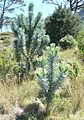 Leucadendron argenteum - Silvertree Forest - Table Mountain 4.JPG