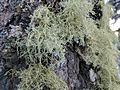 Lichen on a tree in Cloudcroft.jpg