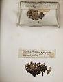 Lichenes Helvetici pars altera 023.jpg