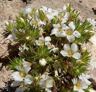 <i>Linanthus</i> genus of plants