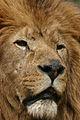 Lion Amneville Zoo.jpg