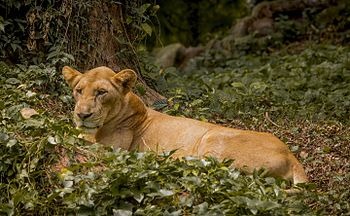 Lioness from zoo.jpg