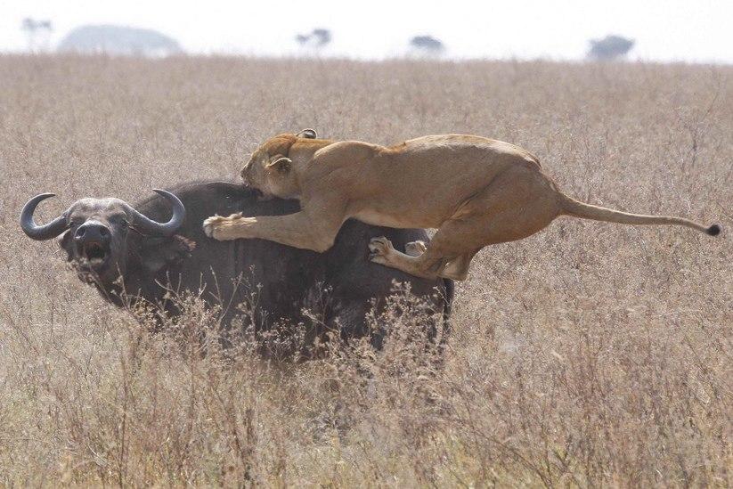 Lioness vs Cape Buffalo (cropped)