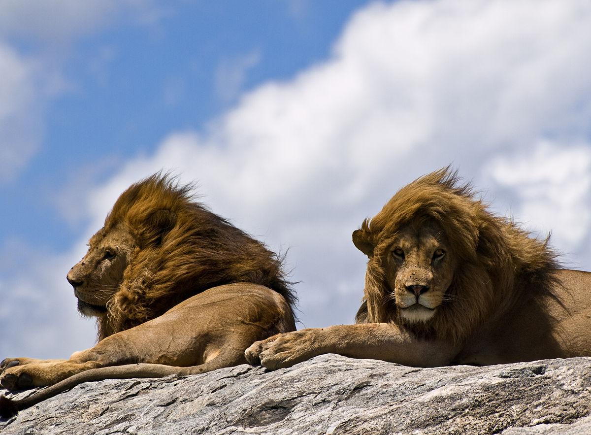 Panthera - Wikipedia, la enciclopedia libre