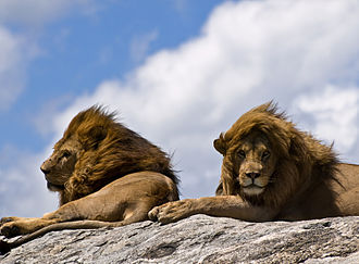 East African lion - Lions in the Serengeti highlands often have very big manes