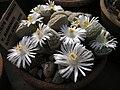 Lithops-marmorata-ssp.-marm.JPG