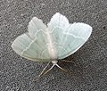 Little Emerald. Jodis lactearia - Flickr - gailhampshire.jpg