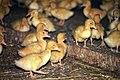 Livestock10.tif (27098453089).jpg
